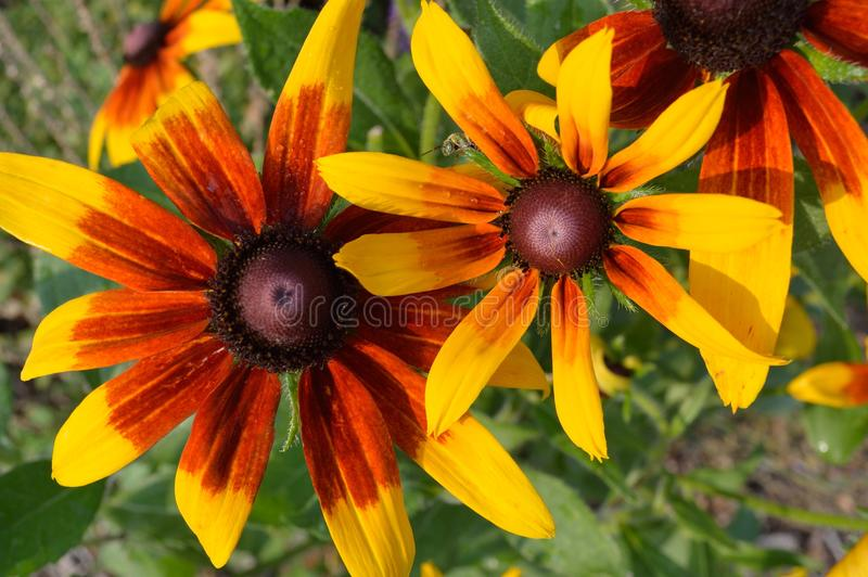 Download Black Eyed Susan With Grasshopper Stock Image - Image of petal, outside: 104798221