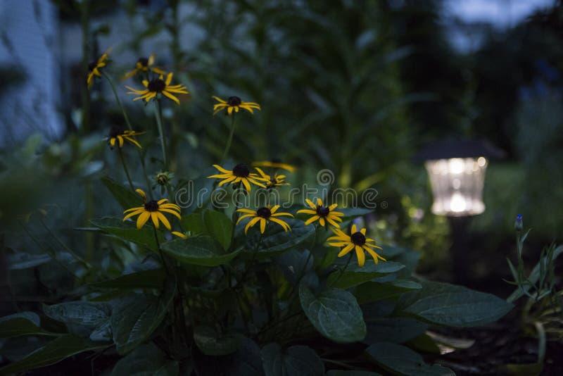 Black Eyed Susan In The Garden. Black eyed susan lit by dim solar light on an evening summer night stock photos