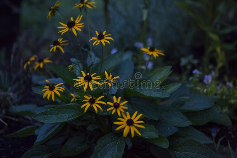 Black Eyed Susan In The Garden. Black eyed susan lit by dim solar light on an evening summer night royalty free stock photography