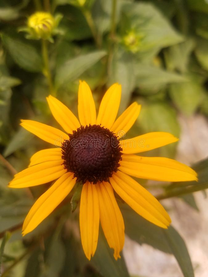 Black-eyed susan. Picture of a black-eyed susan in a garden royalty free stock photos