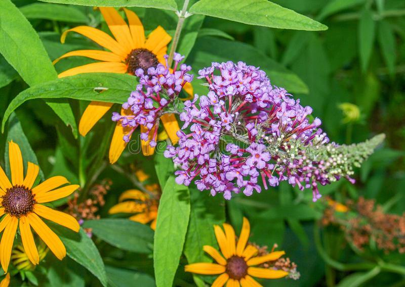 Black Eyed Susan and Purple Butterfly Bush. Black eyed Susan and a Butterfly Bush fill a summer garden with bright yellow and purple blooms royalty free stock photography
