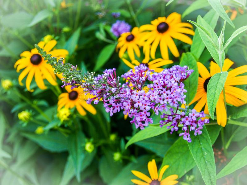 Black Eyed Susan and Purple Butterfly Bush. Black eyed Susan and a Butterfly Bush fill a summer garden with bright yellow and purple blooms stock image
