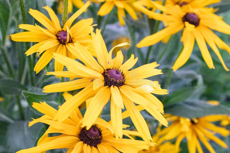 Black-eyed Susan. Rudbeckia flowers in the wild stock images