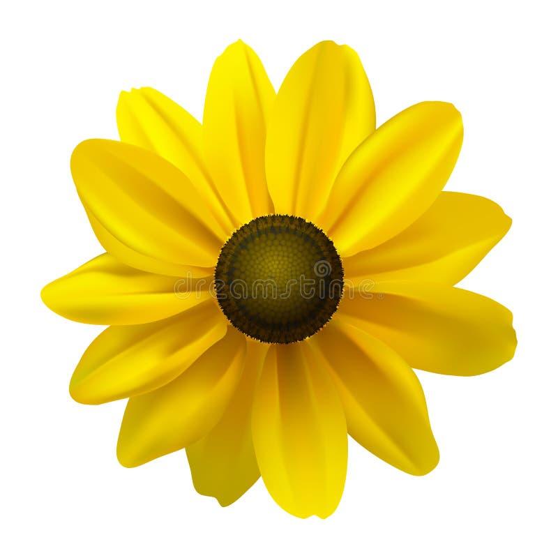Black Eyed Susan (Rudbeckia Hirta) flower royalty free illustration