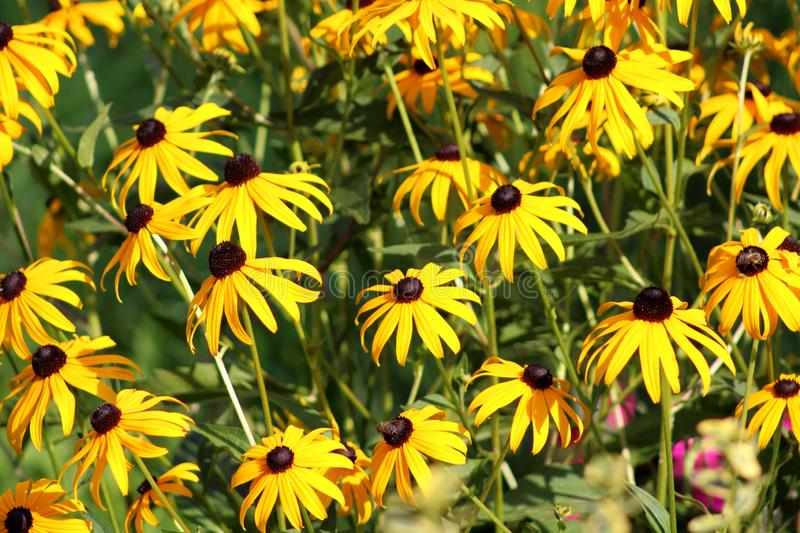Black-eyed Susan or Rudbeckia hirta fully open and blooming bright yellow flowers with black center at sunset stock photography