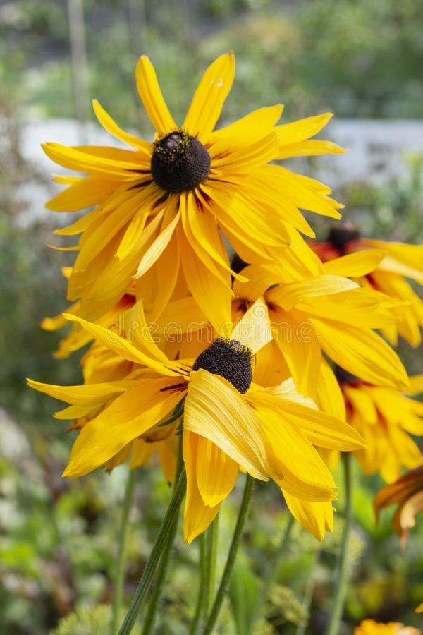 Black-eyed Susan Rudbeckia hirta is the state flower of Maryland. Perennial garden flowers asters Rudbeckia Echinacea stock photography