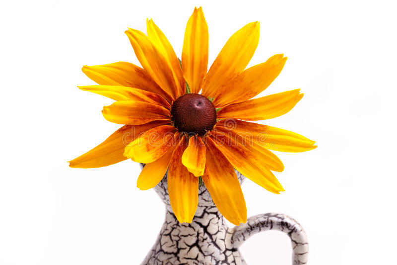 Black-Eyed Susan (Rudbeckia Hirta). In Vase, isolated on white stock image