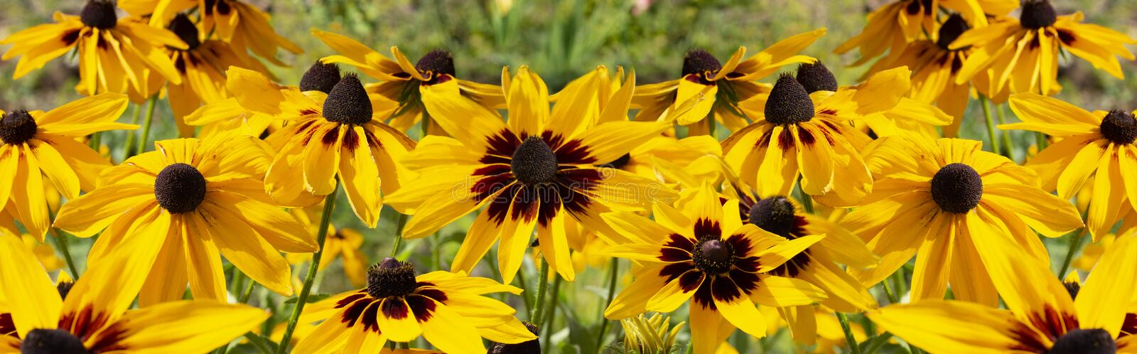 Black-eyed Susan Rudbeckia hirta yellow flower, panorama banner background wallpaper. royalty free stock images