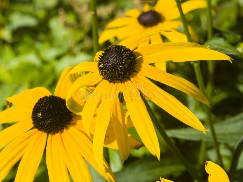Black Eyed Susan, Rudbeckia hirta, yellow flowers close-up, selective focus, shallow DOF.  royalty free stock photos