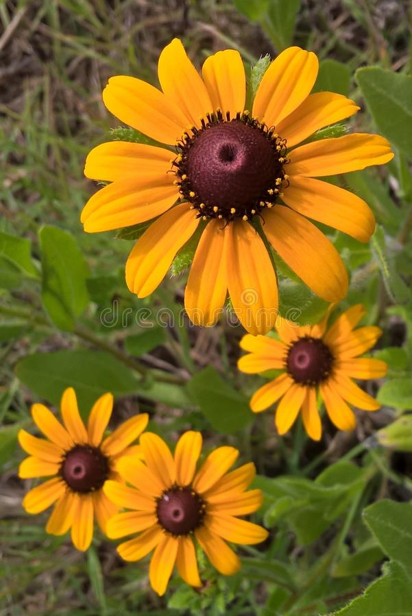 Black Eyed Susan. & x27;s are sturdy, daisy like plants with golden heads and dark brown, almost purple centers. They will add a patch of bright yellow to your royalty free stock images