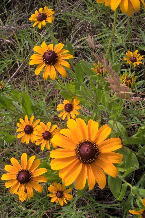 Black Eyed Susan. & x27;s are sturdy, daisy like plants with golden heads and dark brown, almost purple centers. They will add a patch of bright yellow to your stock image