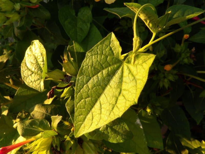Black Eyed Susan Vine green leaf. Arrow head shaped leaf of a Black Eyed Susan Vine Thunbergia alata royalty free stock image