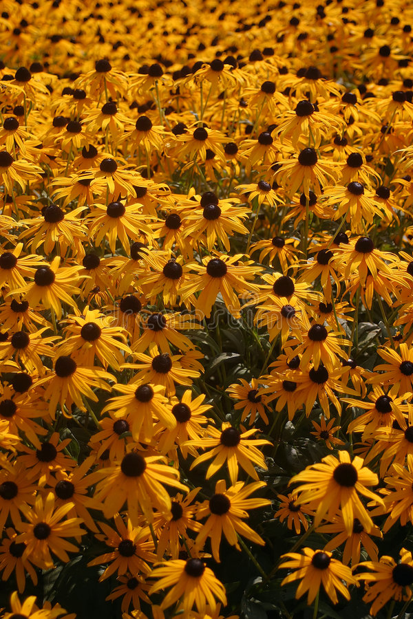 Download Black Eyed Susans stock photo. Image of colorful, field - 216878