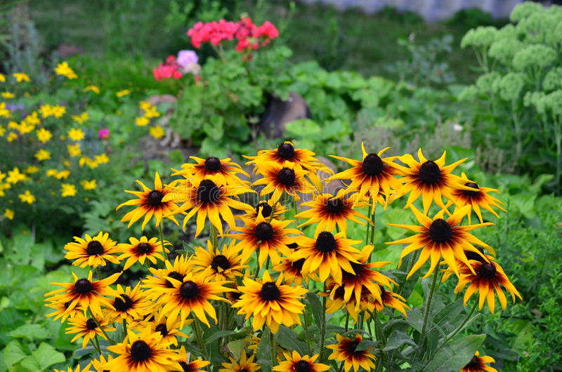 Black-eyed-susans royalty free stock photography