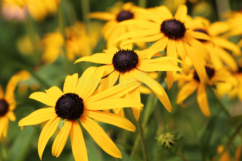 Black-Eyed Susans in Large Quantity stock images