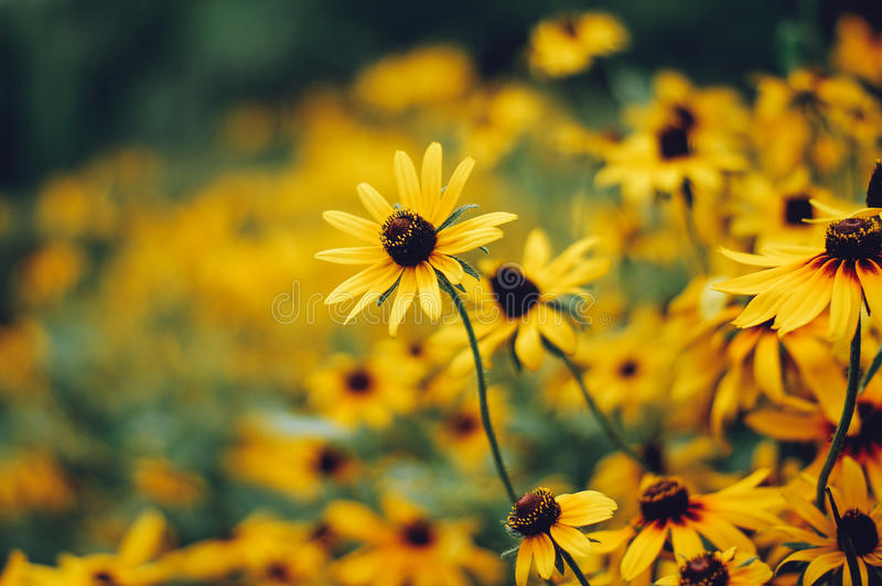Black-eyed Susans Rudbeckia hirta stock photography