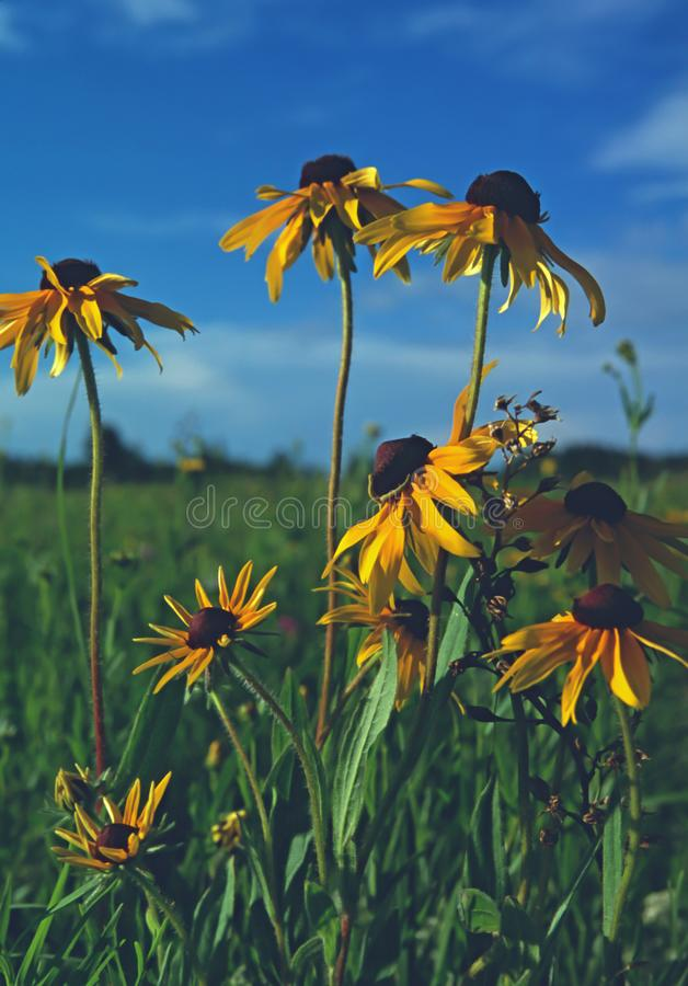 Black Eyed Susans in the summer sun. A bunch of Black Eyed Susans shine in the afternoon sun on a piece of remnant prairie in central Minnesota royalty free stock photo
