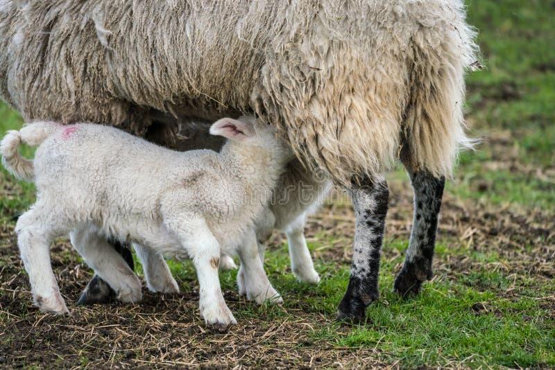 Black face sheep suckling twin lambs. Close up of black face ewe suckling twin lambs in the rain stock photography