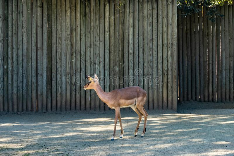 Black faced impala Aepyceros melampus petersi in zoo Barcelona stock image