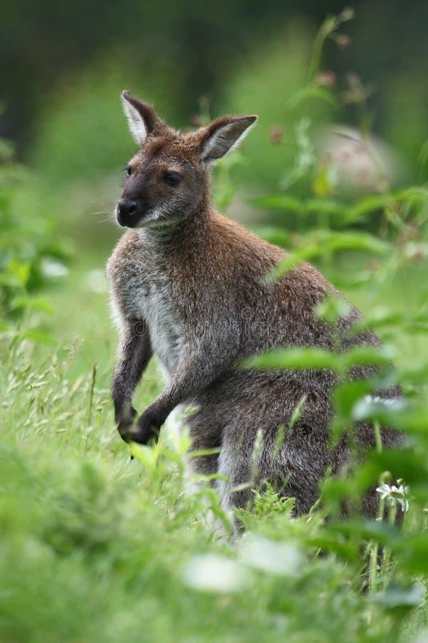 Black-faced Kangaroo Royalty Free Stock Image