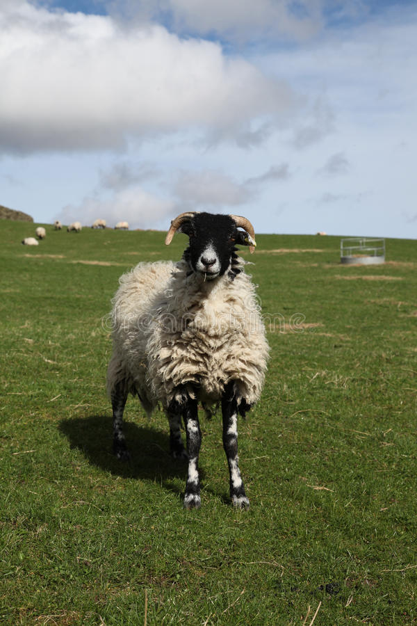 Black-faced sheep royalty free stock image