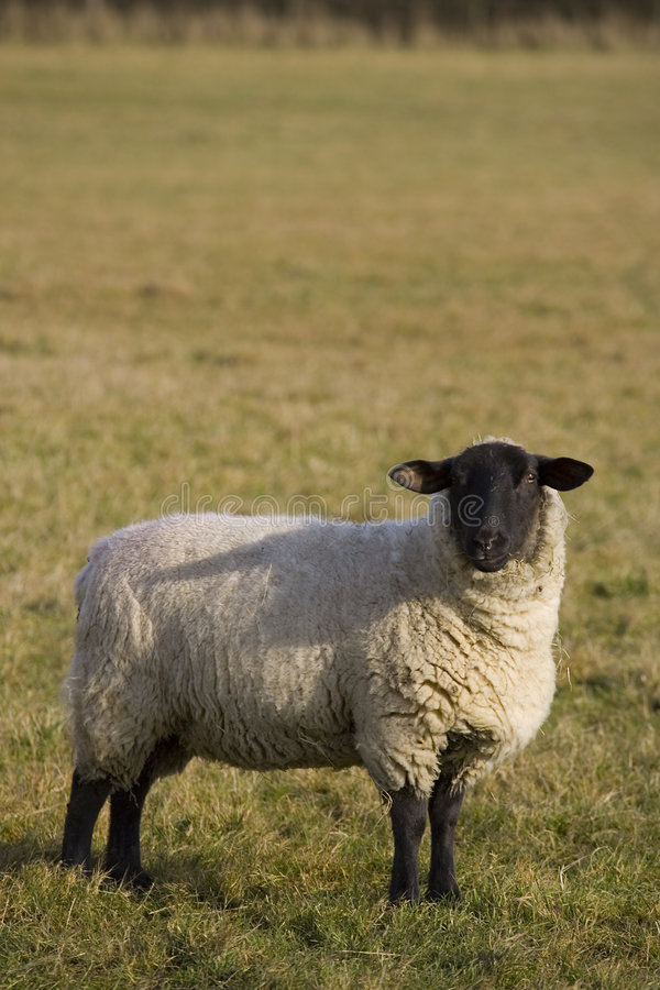 Black Faced Sheep royalty free stock photography