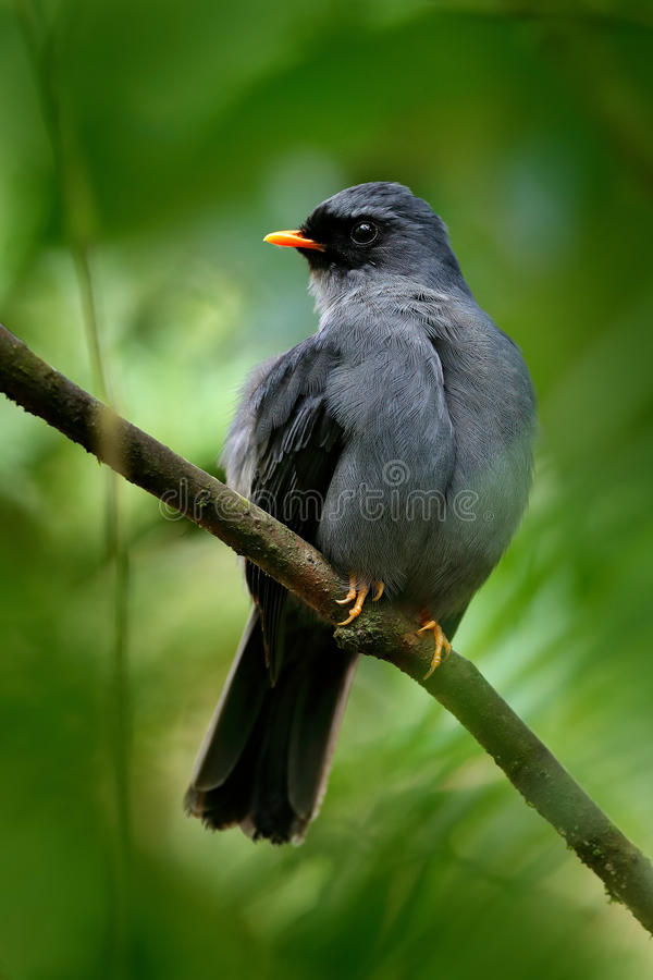 Black-faced Solitaire, Myadestes melanops, sitting on the green moss branch. Tropic bird in the nature habitat. Wildlife in Costa. Rica stock image