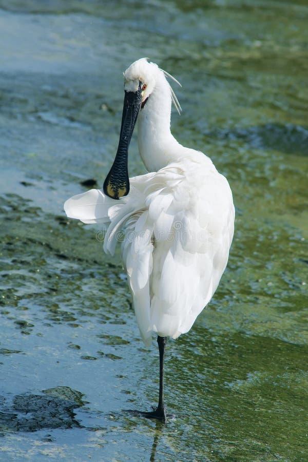 Black-faced Spoonbill. The Black-faced Spoonbill is preening. Scientific name: Platalea minor royalty free stock images