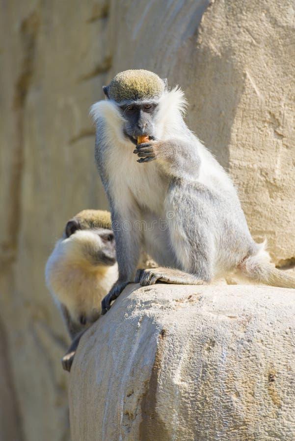 Download Black Faced Vervet Monkey Eating Stock Image - Image: 38900209