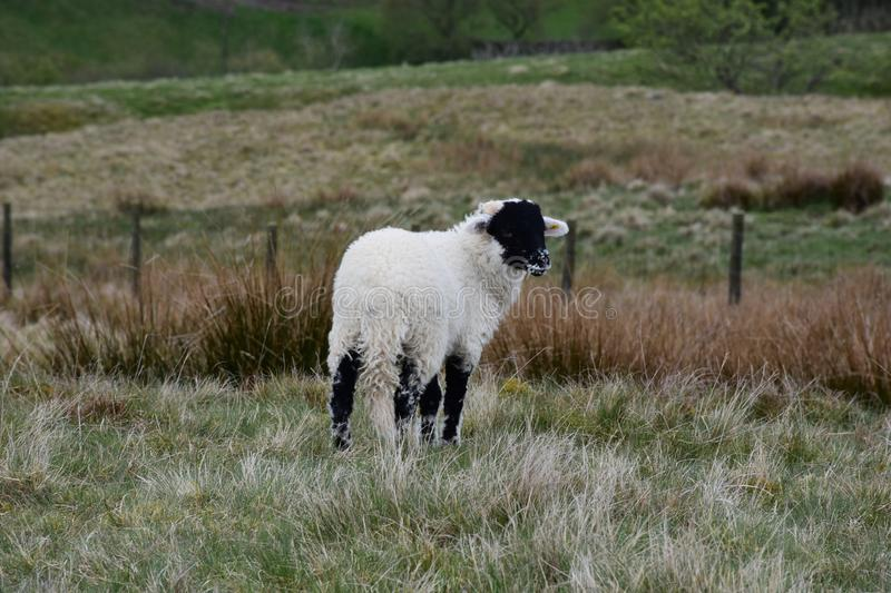 Black Faced White Lamb Looking Back Over His Shoulder stock photo