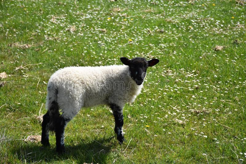 Black Faced Young Lamb in a Field with Small Flowers royalty free stock photo