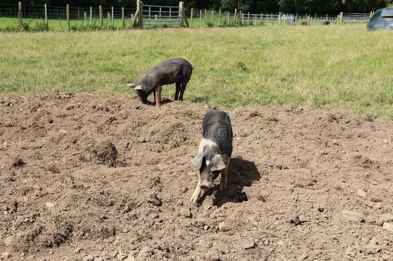 Black farm pigs. Summer on the farm, two black pigs in mud stock image