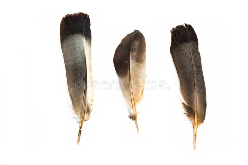 Black feathers  on white background royalty free stock image