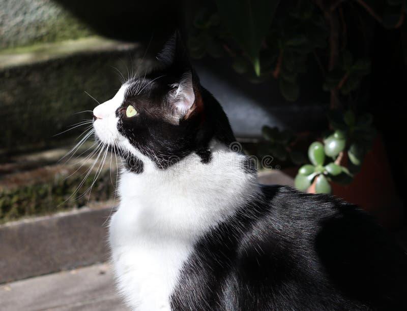black feline white стоковая фотография rf
