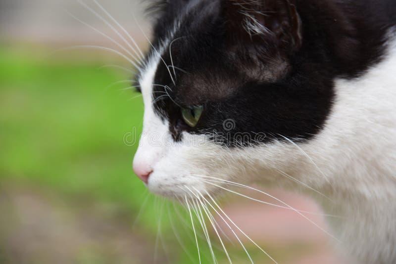 black feline white стоковое изображение rf