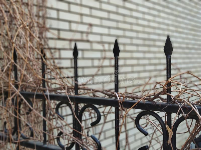 Black fence tops against a light gray brick wall, braided with wild grapes royalty free stock image
