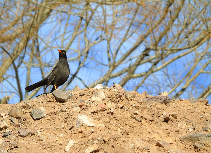 Black fieldfare bird royalty free stock images