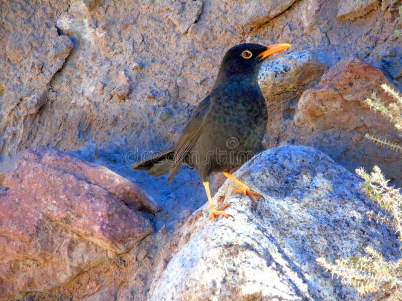Black fieldfare bird royalty free stock photo