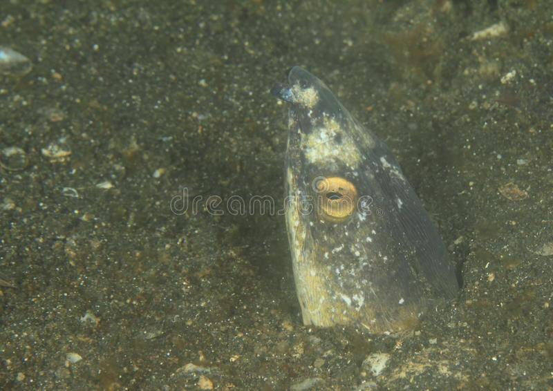 Black-finned snake eel. (ophichthus melanochir) - head of fish watching out from it´s hole in black sand - Lembeh Strait, North Sulawesi, Indonesia stock images