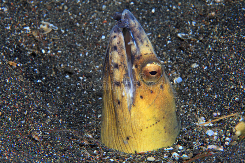 Black-finned snake eel. (Ophichthus melanochir) on sandy bottom stock images