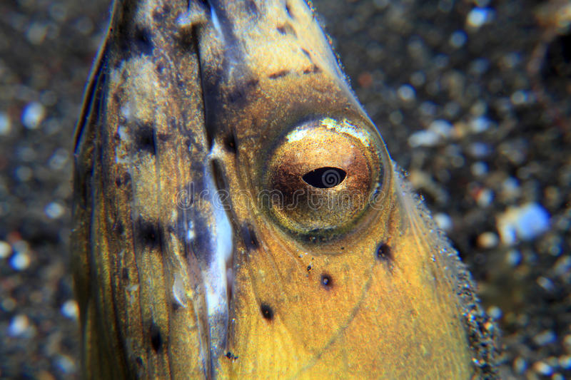 Black-finned snake eel. (Ophichthus melanochir) on sandy bottom stock photography