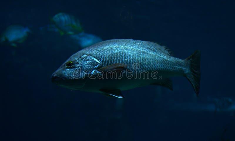 Black fish. Swimming underwater - (Mycteroperca Bonaci, aka Black Rockfis stock photography