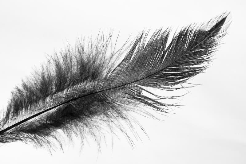 black fjädern fotografering för bildbyråer