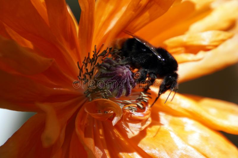 Black fluffy bumblebee on a poppy flower in May stock photography