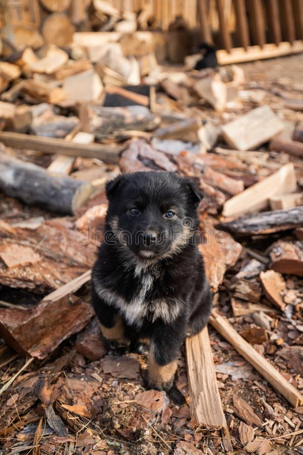 Little Puppy Sitting In The Yard, Strewn With Sawdust stock photo