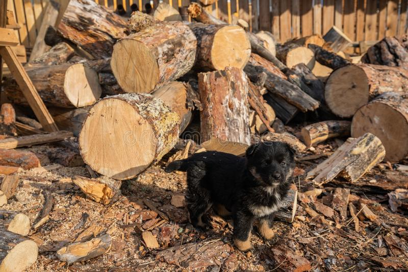 Puppy Stands In The Yard, Strewn With Sawdust And Looks Into The Camera stock images