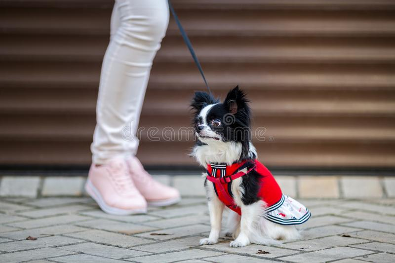 A black fluffy white, long-haired funny dog with emale sex with larger eyes the Chihuahua breed, dressed in red knitted dress. The royalty free stock photography