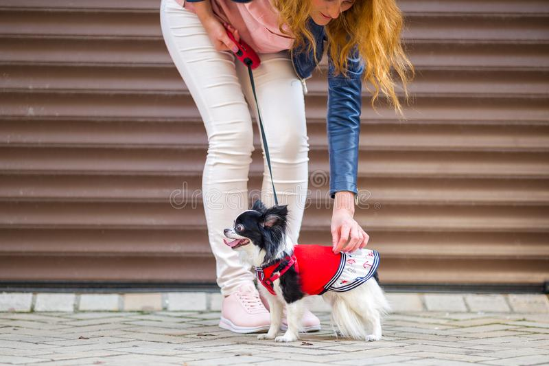 A black fluffy white, longhaired funny dog female sex with larger eyes, Chihuahua breed, dressed in red dress. animal stock photography