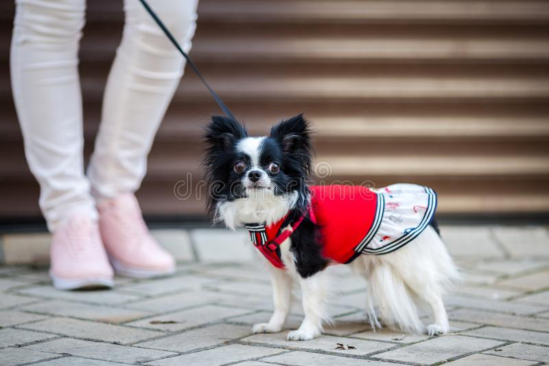 A black fluffy white, longhaired funny dog female sex with larger eyes, Chihuahua breed, dressed in red dress. animal stands at fu royalty free stock photography