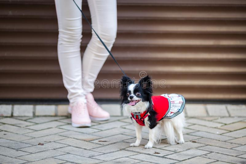 A black fluffy white, longhaired funny dog female sex with larger eyes, Chihuahua breed, dressed in red dress. animal stands at fu stock photos